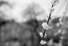 20180314 Nagoya Agricultural Center 6 (BONGURI) Tags: 名古屋市 愛知県 日本 jp bw monochrome 白黒 モノクロ モノクローム weepingcherry weep ume umeblossom blossom blossomtree 梅 しだれ梅 枝垂れ 枝垂れ梅 bokeh ボケ shadow sunlight 影 明かり 太陽光 nagoyaagriculturalcenter agriculturalcenter 名古屋農業センター 農業センター tenpaku tenpakuward 天白 天白区 nagoya 名古屋 aichi 愛知 nikon d850 afsnikkor28mmf18g