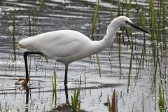 Little Egret. (Albie n Glo) Tags: bird littleegret rspb rspbleightonmoss water reeds reflections
