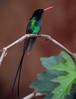 Red-billed Streamertail, male / EXPLORE 4/16/2018 (birding4ever) Tags: 5 redbilledstreamertail trochiluspolytmus