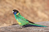 Australian Ringneck (Barnardius zonarius) race zonarius (Mickspixx) Tags: australianringneck barnardiuszonarius palmvalley centralia parrot ringneck outback