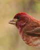 Purple Finch (Haemorhous purpureus) Portrait (jlcummins - Washington State) Tags: bird purplefinch home yakimacounty washingtonstate tamronsp150600mmf563divcusd canon finch nature backyardbirds