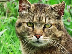 Tiger is my lovely cat (splasion) Tags: catcutetigerlovelyhunterpetwildlifecatsphotographybeautifulbeauty animal cat cute tiger lovely hunter pet wildlife cats photography beautiful beauty