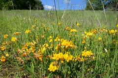*Lotus corniculatus, BIRD'S-FOOT TREFOIL (openspacer) Tags: fabaceae jasperridgebiologicalpreserve jrbp lotus nonnative peduncle trefoil