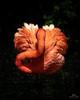 Fenicottero Americano // American Flamingo (Christian Papagni | Photography) Tags: santalessioconvialone lombardia italia it fenicottero americano american flamingo oasi sant alessio canon eos 5d mark iv ef100400mm f4556l is ii usm