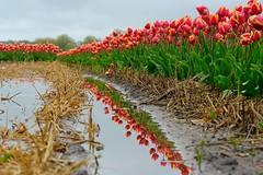On a very wet day..... (peeteninge) Tags: tulips tulipfield flowerfield flowers wet rain dutch holland tulpenveld tulpen bloemen bollenveld regen nat fujifilmxt2 fujifilm xf80mmf28