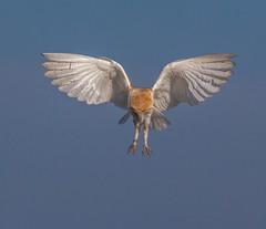 Hunting Barn Owl (Nigey2) Tags: