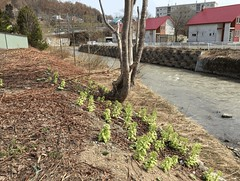 Water in the Creek (sjrankin) Tags: 23april2018 edited yubari hokkaido japan gif animatedgif bridge road street houses plants weeds river creek water flowing