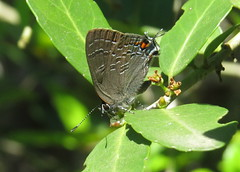 Banded Hairstreak (Bug Eric) Tags: animals wildlife nature outdoors insects bugs butterflies hairstreaks lycaenidae lepidoptera austin texas usa bandedhairstreak satyriumcalanus northamerica april232018