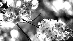 la vie en blanc - cerisier #explored 04052018 (FLOCVROFF) Tags: white monochrome weiss cerisier blossom chivaroff april 250mm inexplore04052018