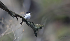 male pied fly catcher (Ficedula Hypoleuca) record shot (Pikingpirate1) Tags: pied fly catcher bird ngc wiild beautiful visitor
