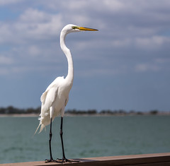 Hanging on a Rail (hey its k) Tags: 2018 beach birds florida florida2018 greategret nature sanibelisland wildlife sanibel unitedstates us canon6d tamron 150600mm img8121e