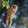 Barred Owl (Gary McHale) Tags: strix varia barred circle bar b reserve gary mchale lakeland florida ngc npc coth5