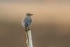 Western Bluebird-female (Waspane) Tags: westernbluebird birdsofsnohomishcounty sonya7r3 sigma500mmf4
