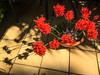 Blooms in my garden (Marian Pollock) Tags: flowers potplant red pot shadows tiles stunning melbourne australia nerines bulbs garden sunshine outdoors victoria design