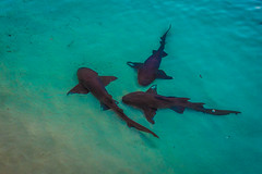Highborne Cay had sharks that were like pets.
