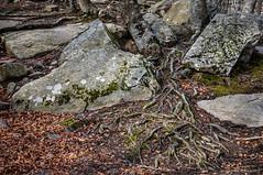 Raíces derramadas (SantiMB.Photos) Tags: 2blog 2tumblr 2ig montseny santafe bosque forest invierno winter raíz root rocas rocks geo:lat=4178036838 geo:lon=245264203 geotagged cataluna españa esp