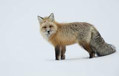 Red Fox (Markp33) Tags: