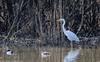 9Q6A7996 (2) (Alinbidford) Tags: alancurtis alinbidford brandonmarsh greatwhiteegret nature wildbirds wildlife