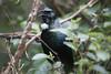 Zealandia ~ Tui (whitebear100) Tags: zealandia nz newzealand northisland wellington tui 2018