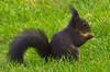 Hat sich gelohnt! / That's been worth while! (schreibtnix on 'n off) Tags: deutschland germany bergischgladbach tiere animals eichhörnchen squirrel sciurusvulgaris nahaufnahme closeup nixmehrda nothingleft olympuse5 schreibtnix