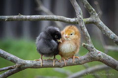 Best Friends! (K.Yemenjian Photography) Tags: bird birds chicken chicks chick nature macro depthoffield shallowofdepth animal animalplanet black yellow blackandyellow