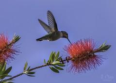 Hummingbird and Bottlebrush (jen_moss) Tags: hummingbird bottlebrush birds california sanjose backyard