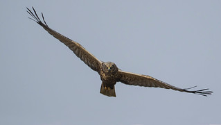 Marsh Harrier - Breathtaking Magnificence