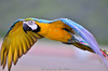 Parrot 金剛鸚鵡 (szintzhen) Tags: 追焦 鸚鵡 鳥 散景 北投 台北市 台灣 parrot bird bokeh taipeicity taiwan