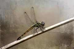 Yellow Dragonfly (ulli_p) Tags: asia art artofimages aworkofart awardtree colours dragonflys flickraward isan insects macro nature odonata ruralthailand southeastasia thailand texture textured texturedphoto