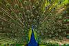 PAVO REAL (juan carlos luna monfort) Tags: parcsamà cambrils ave pajaro bird espectacular colorido nikond7200 sigma1750 calma paz tranquilidad
