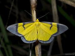 Celerena signata, Geo Oenochrominae (Green Baron Pro) Tags: 201802 malaysia moth merapoh geometridae oenochrominae