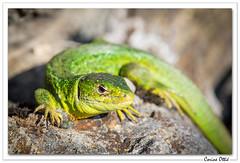 Encore quelques instants de soleil ! (C. OTTIE et J-Y KERMORVANT) Tags: nature animaux reptiles lézard lézardvert alsace france