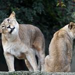 Shaking lioness thumbnail
