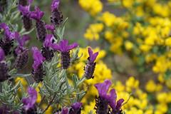 Lavande papillon (Missfujii) Tags: fleur nature printemps