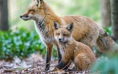 Never without mommy! (anniebevilacqua) Tags: animal renardroux redfox vulpesvulpes fox foxcub cub renardeau faunemontréal montrealwildlife