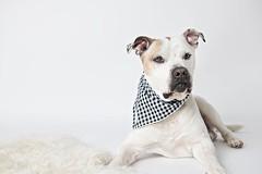 Byron (Pet Haven) Tags: americanbulldog bulldog pitbullterrier byron shuttersmack leslieplesser professionalphotos studiophotos