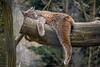 Lynx (ruemer-photography) Tags: luchs