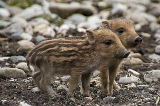 Wild boar babys