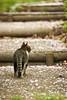 cat (NEKOFighter) Tags: cat neko sakura straycat ねこ 猫 japan nikon