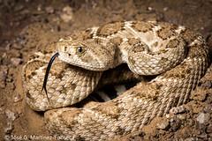Western Diamondback rattlesnake (SVALDVARD) Tags: rattlesnake snakes serpientes snake svaldvard svaldvardink herpetology