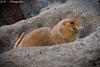 Präriehund - Prairie Dog (R.O. - Fotografie) Tags: präriehund prairie doganimal tier closeup close up nahaufnahme outdoor rofotografie panasonic lumix dmcfz1000 dmc fz1000 fz 1000 loch hole vogelpark heiligenkirchen detmold nrw germany deutschland