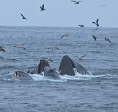 191. Humpback Whales (1000 Wildlife Photo Challenge) Tags: whale humpbackwhales whalewatch monterey montereybay pacific westcoast california californiadreaming