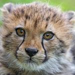 Last cheetah picture thumbnail