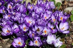 Spring is coming / Der Frühling kommt (berndkru) Tags: canoneos80d ef100mmf28lmacroisusm krokus crocus spring frühling blumen flowers
