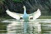 Splish Splash (stellagrimsdale) Tags: wings swan splishsplash water reflections droplets birdphotography waterbird