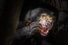 A Chewy Snack (helenehoffman) Tags: omnivore conservationstatusvulnerable southeastasia mammal sandiegozoo sunbear ursidae nature helarctosmalayanus honeybear animal bear coth specanimal