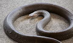 Australian reptile (EF70-300mm Canon lens) (Lance CASTLE) Tags: snake reptile zoomlens australian gattonshowgrounds elapidae venom reptiles elapid venomous