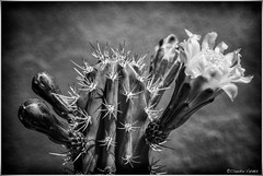 - The first cactus flower of spring - (claudiov958) Tags: arizona biancoenero blackwhite blancoynegro cactus černýabílý claudiovaldés czarnyibiały deserthillshome flower ngc nikkor2470mmf28 noiretblanc pretoebranco schwarzundweiss sonya7r3 spring черноеибелое nikkor2470mmf2828g
