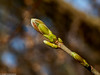 Frühlingserwachen - Kurz vor dem aufspringen (J.Weyerhäuser) Tags: mainz oberolmerwald frühling knospe blatt ast