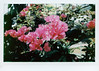 Bougainvillea (Howard Sandler (film photos)) Tags: flowers bougainvillea film instant instax wide graflex crowngraphic wollensak optar